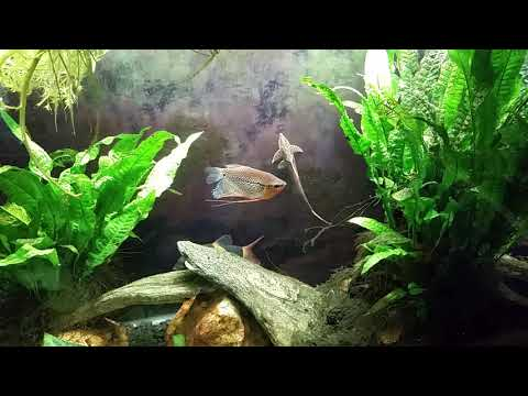 Dying Angelfish And A Dead Waterfall