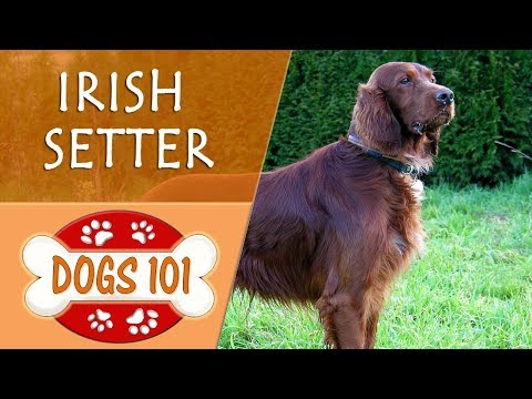 Dogs 101 - IRISH SETTER - Top Dog Facts About the IRISH SETTER