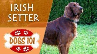 Dogs 101 - IRISH SETTER - Top Dog Facts About the IRISH SETTER