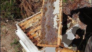 Harvesting organic Manuka honey from my beehive