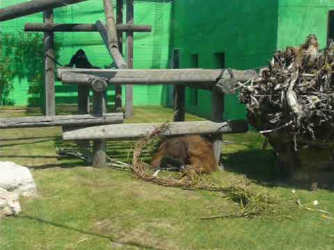 Buff-cheeked gibbon teases orangutan
