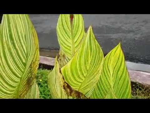 Canna  flowering plant - tropical plant - Bunga Kanna