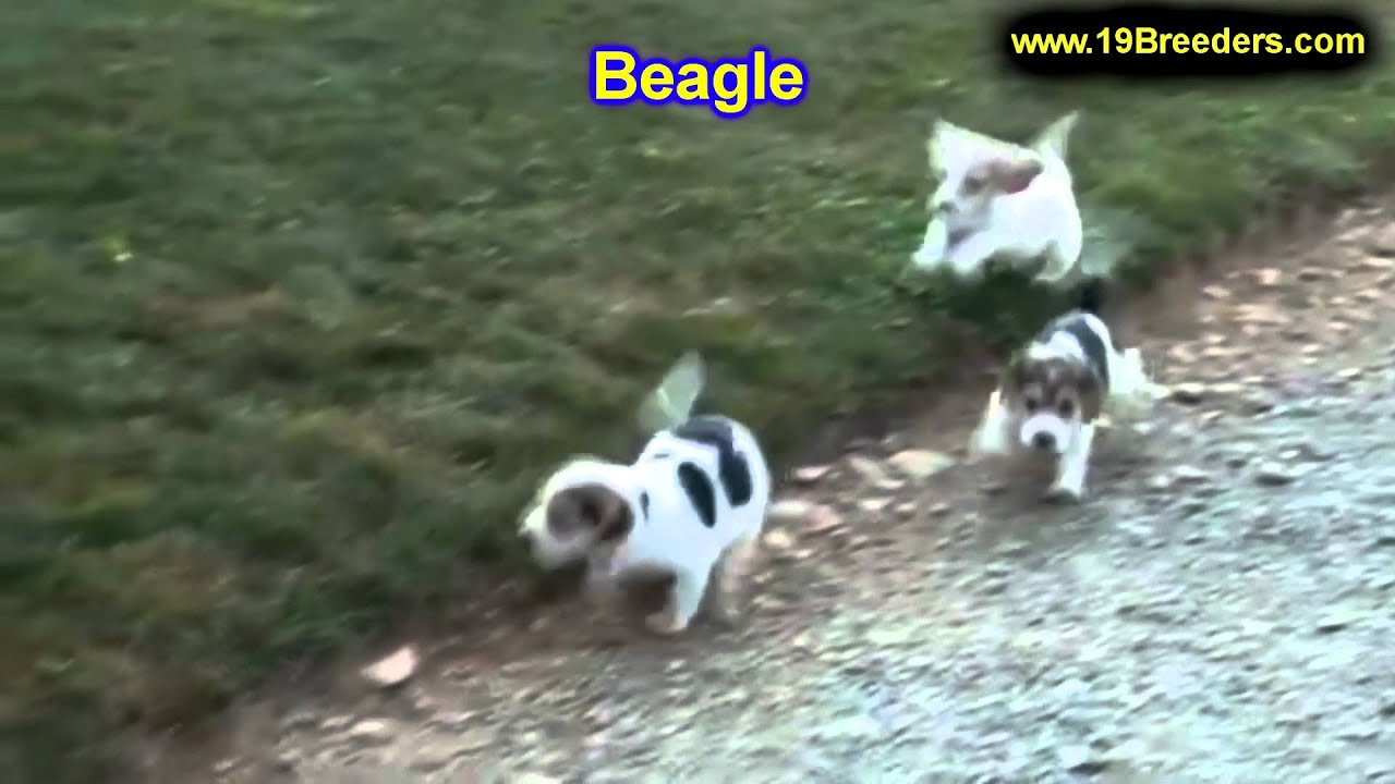 Beagle, Puppies, Dogs, For Sale, In Denver, Colorado, CO ...