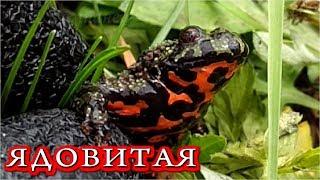 ЖЕРЛЯНКА  Ядовитая Жаба в Приморье. Очень красивая!