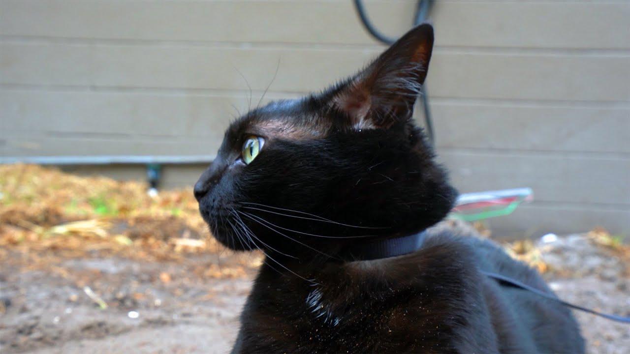 indoor cat explores the outdoor world