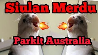 Suara Merdu Si Falk ( Parkit Australia ) , Burung Cockatiel