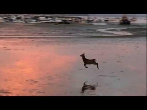 Deer Meme Video