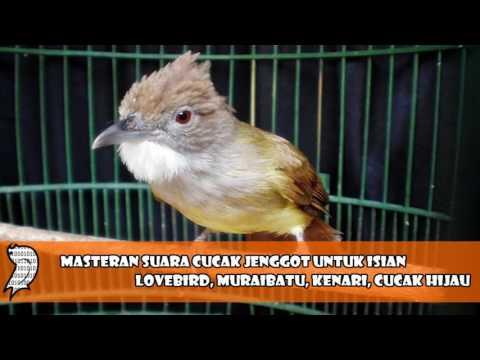 Download Lagu Masteran Suara Cucak Jenggot Untuk Isian Lovebird, Muraibatu, Kenari, Cucak Hijau