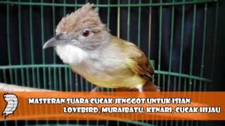 Masteran Suara Cucak Jenggot Untuk Isian Lovebird, Muraibatu, Kenari, Cucak Hijau