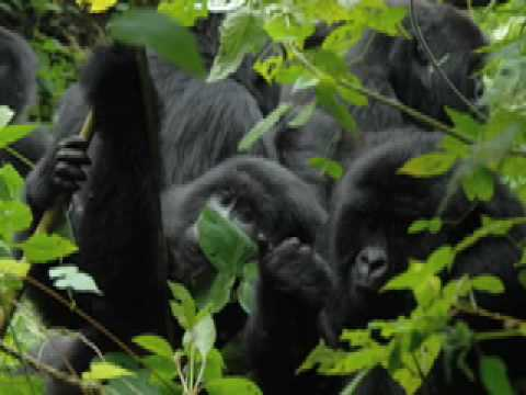 Intro to Dian Fossey Project