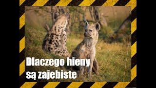 Dlaczego hieny są zajebiste