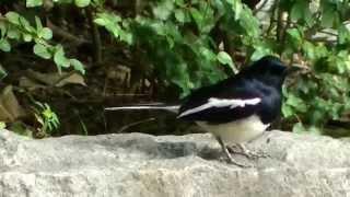 Oriental Magpie Robin 鵲鴝