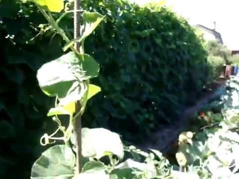 Как растет лагенария - бутылочная (посудная) тыква - YouTube
