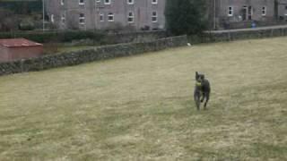 Lurcher Pup Retrieving A Ball [2]