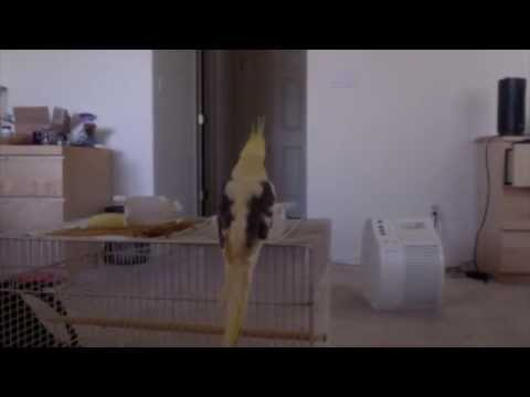 What a cockatiel does alone for 6 hours.