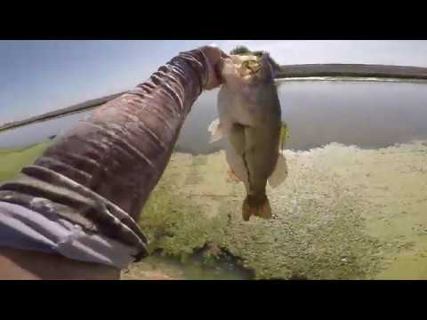 Giant Bass In Irrigation Canal
