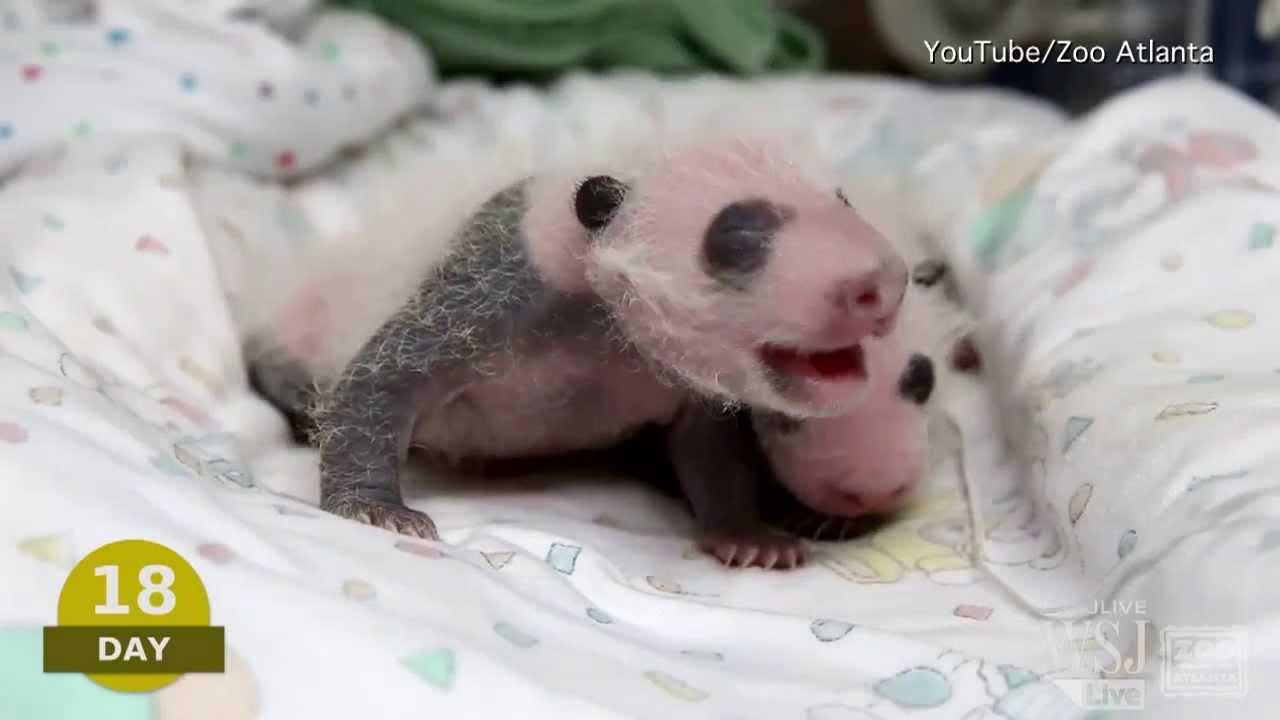 newborn panda cubs wwwpixsharkcom images galleries