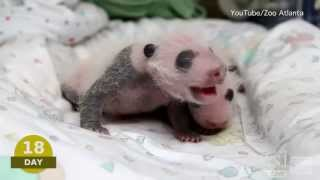 "Baby Pando Video | Atlanta Zoo ""Panda Cam"": Watch Newborn Giant Pandas"