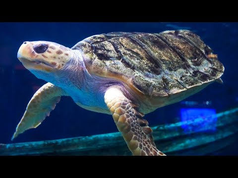 Sea Turtle Saved by 3D Printing | Earth Unplugged