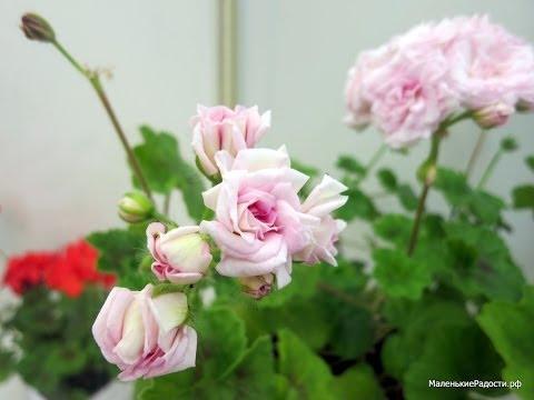 Как укоренить пеларгонию my flowersu