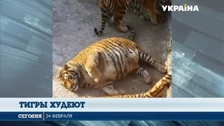 Сотрудники китайского зоопарка начали бороться с лишним весом тигров