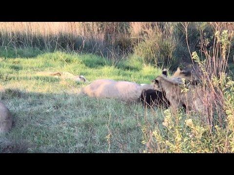 Lion Cub Annoys Sleepy Dad