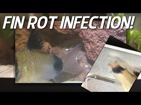Cory Catfish Fin Rot! A Cory Died, Plans, And Concerns