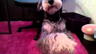 テレビにも出ているタレント犬ケリーくん、 本番中は寝てばっかりですが...