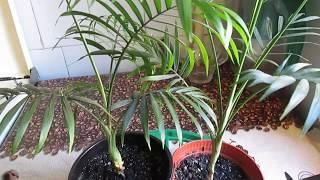 видео Хамедорея уход в домашних условиях: пересадка пальмы