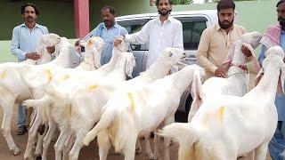 Islamabad  Bakre sale ho gaye hain  kharidar Raabta Karen 0349689033 Mohammed Rashid God from Dera G