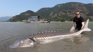 Catch and Cook Sturgeon!!! How to catch giant sturgeon --