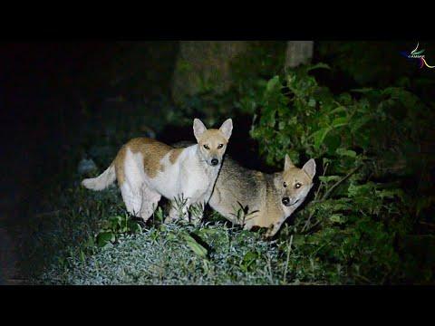 Dog & Jackal interbreed. (IMO)