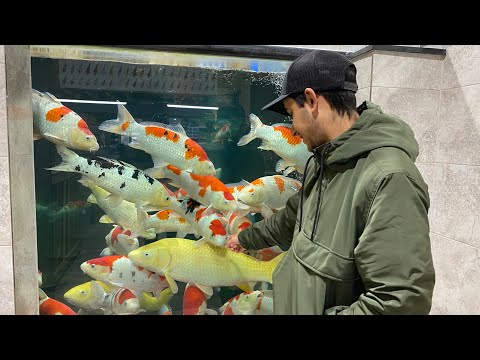 Monster Koi - Sakai Fish Farm - Koi Water Barn
