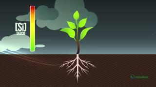 El Aliado Verde (Silicio en la Agricultura) - Mejisulfatos