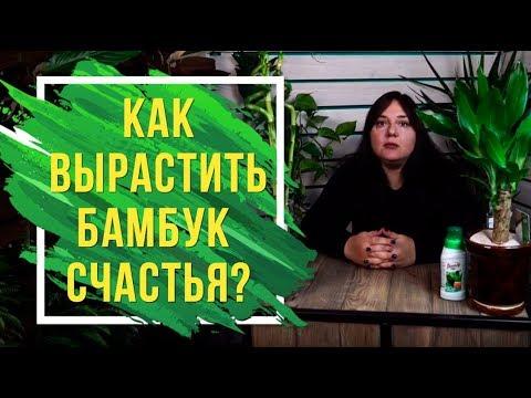 Как вырастить бамбук счастья у себя дома 🍀 Драцена Сандера домашние растения