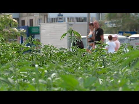 Газон из конопли: в районе Зёлёного клина выросла дурман-трава (06.06.19г., Бийское телевидение)