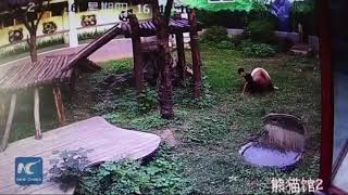 Jiu Jitsu Lessons From A Man vs Panda Wrestling Match