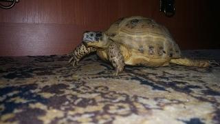 Уход за сухопутной черепахой.  Весенняя линька