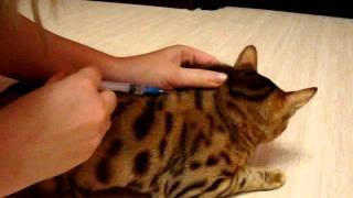 Укол кошке подкожно (укол в холку) видеоролик.