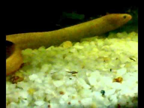 Snake Fish Feeding On Gold Fish Ajay Aquarium Youtube