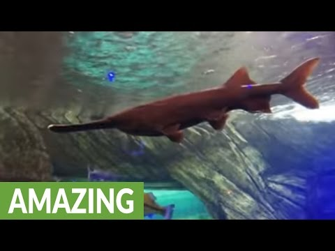 Bizarre prehistoric paddlefish has a super ability