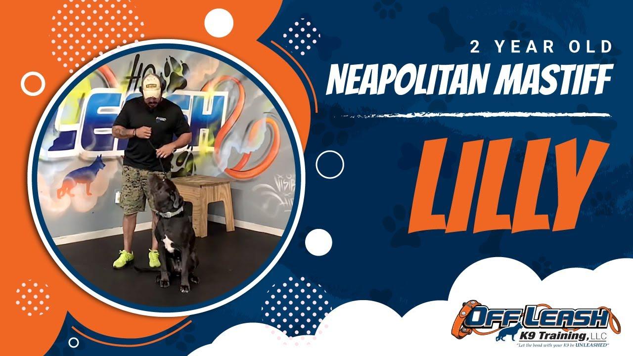 2-Year Old Neapolitan Mastiff, Lilly! Neapolitan Mastiff Off Leash |  Mastiff Dog Training