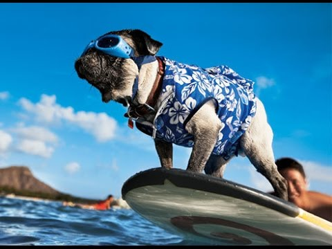 labrador (surfer dog)