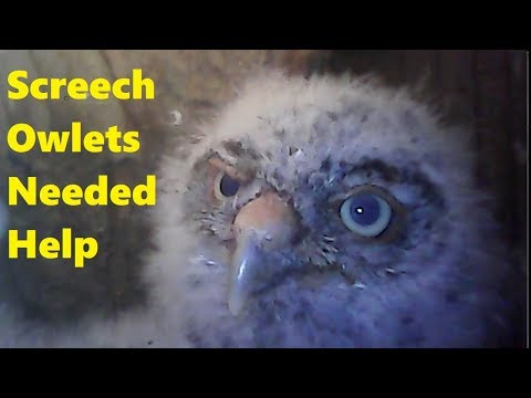 Intervention to Save the Screech Owlets 🦉
