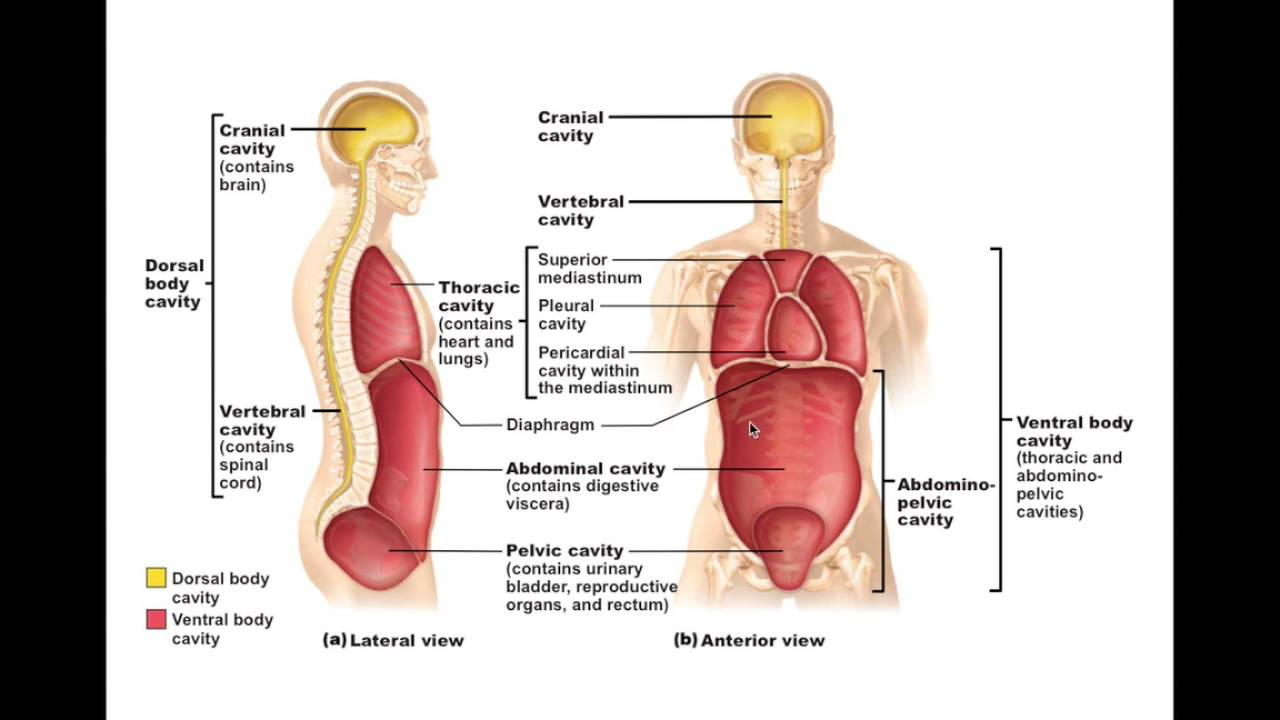 Chapter 1 6 Body Cavities And Membranes Bio201 Youtube 4 Diagram The 9 Abdominopelvic Regions Abdominal