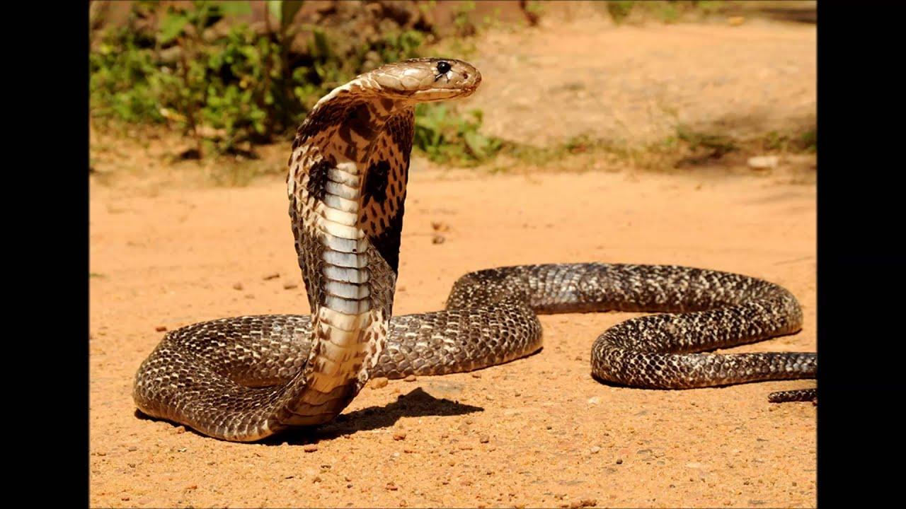 фото индийская кобра