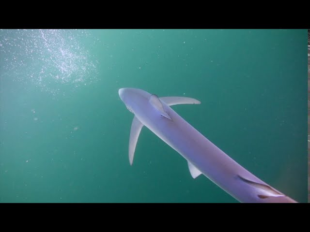 Blue Sharks with In Deep Diving & Marine