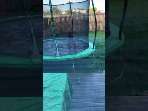 Dogue De Bordeaux On trampoline funny crazy dog 1 year old