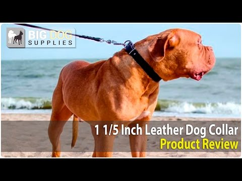 Dogue de Bordeaux and Other Big Dogs Wearing Leather Dog Collar