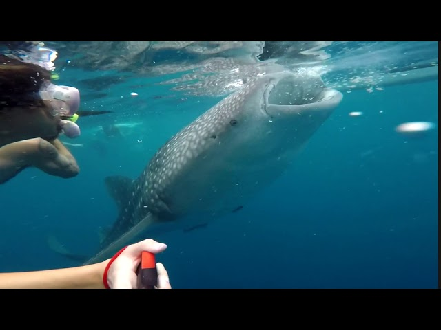 An Intimate Whale Shark Encounter 💙🦈